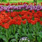 CASTELLO DI PRALORMO_Messer Tulipano 273