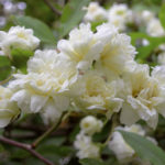 MT2018_Rose-del-parco_Rosa Banksia