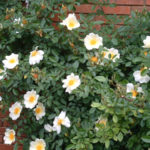 MT2018_Rose-del-parco_Rosa Marmaid