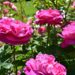 MT2018_Rose-del-parco_Rosa Paul Neyron