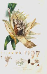 MT2019_CacciatoriDiPiante_08_M.-Bonafous_Histoire-naturelle-du-maïs_1836_illustrazione-mais-