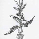 MT2019_CacciatoriDiPiante_14_Disegno-di-tulipano-di-P.A.Mattioli_1565
